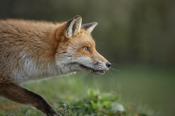 Foxes are cunning predators