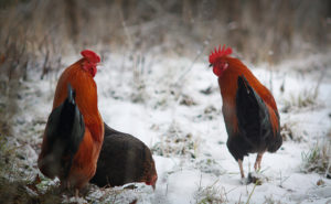 Chickens are hardy animals even in the snow