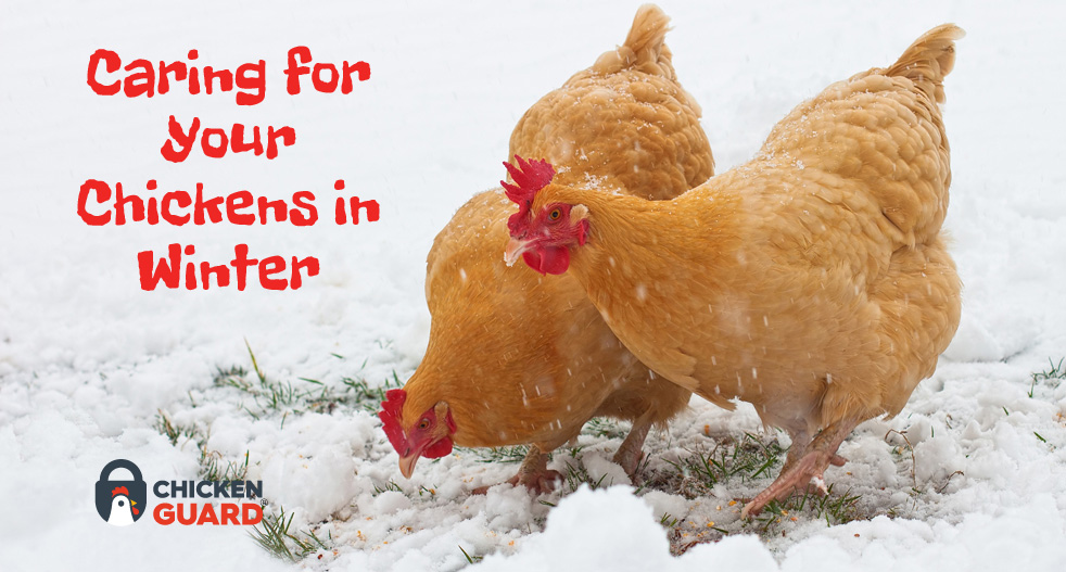 caring for chickens in winter chickenguard