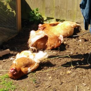 Sophie Warner's re-homed hens, Daisy, Poppy and Violet love to hang out in the sun.