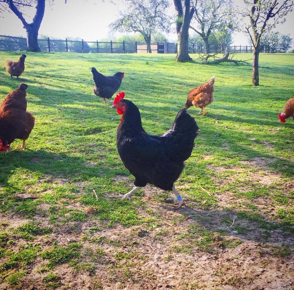 Rehomed Chooks at Happy Pants Ranch