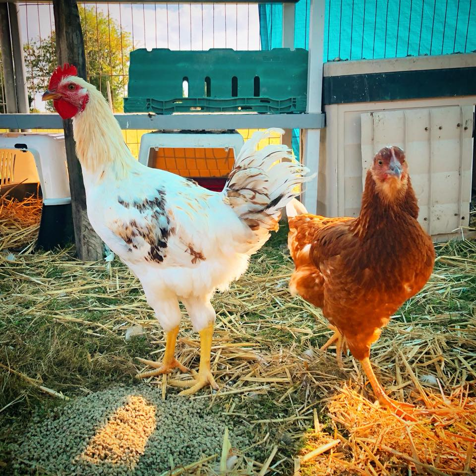 Some retiring hens at Happy Pants Ranch